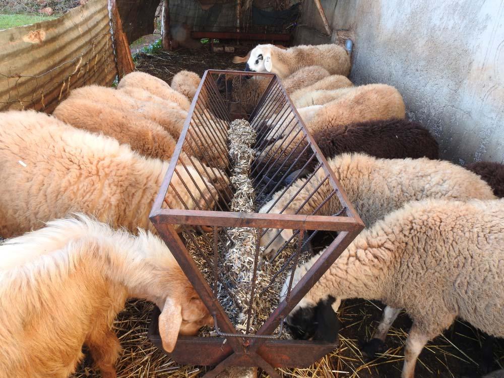 Körbála etető juhoknak
